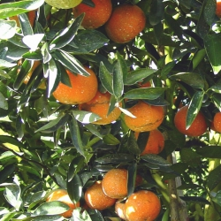 Winter_Tangerine