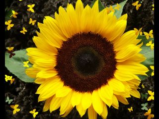 sunflower23.jpg_thumb_65a529d71d3cad0302